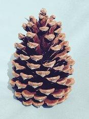 Bixby Blossom Farms Pine Cones (bag of 10)